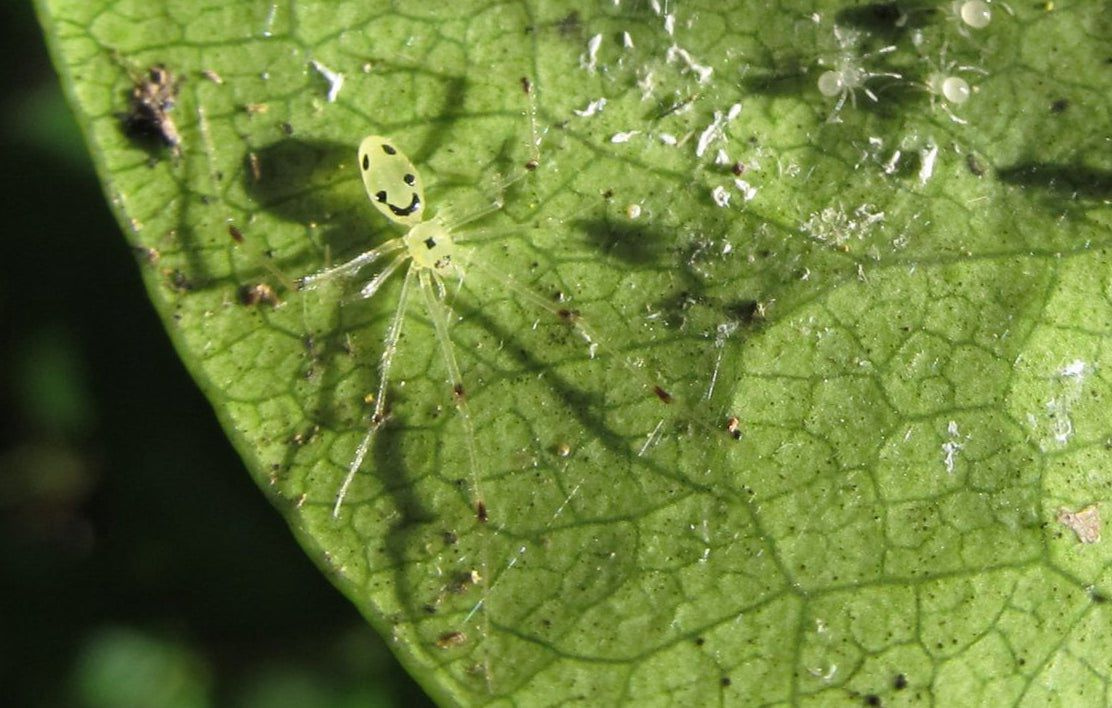Close up of a green leaf with a light green happy face spider with long legs and what appear to be eyebrows, eyes, and smile