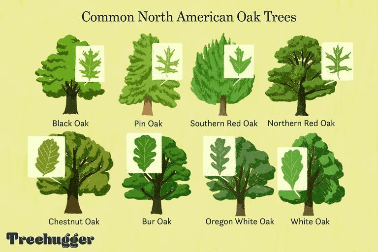 common north american oak trees illo