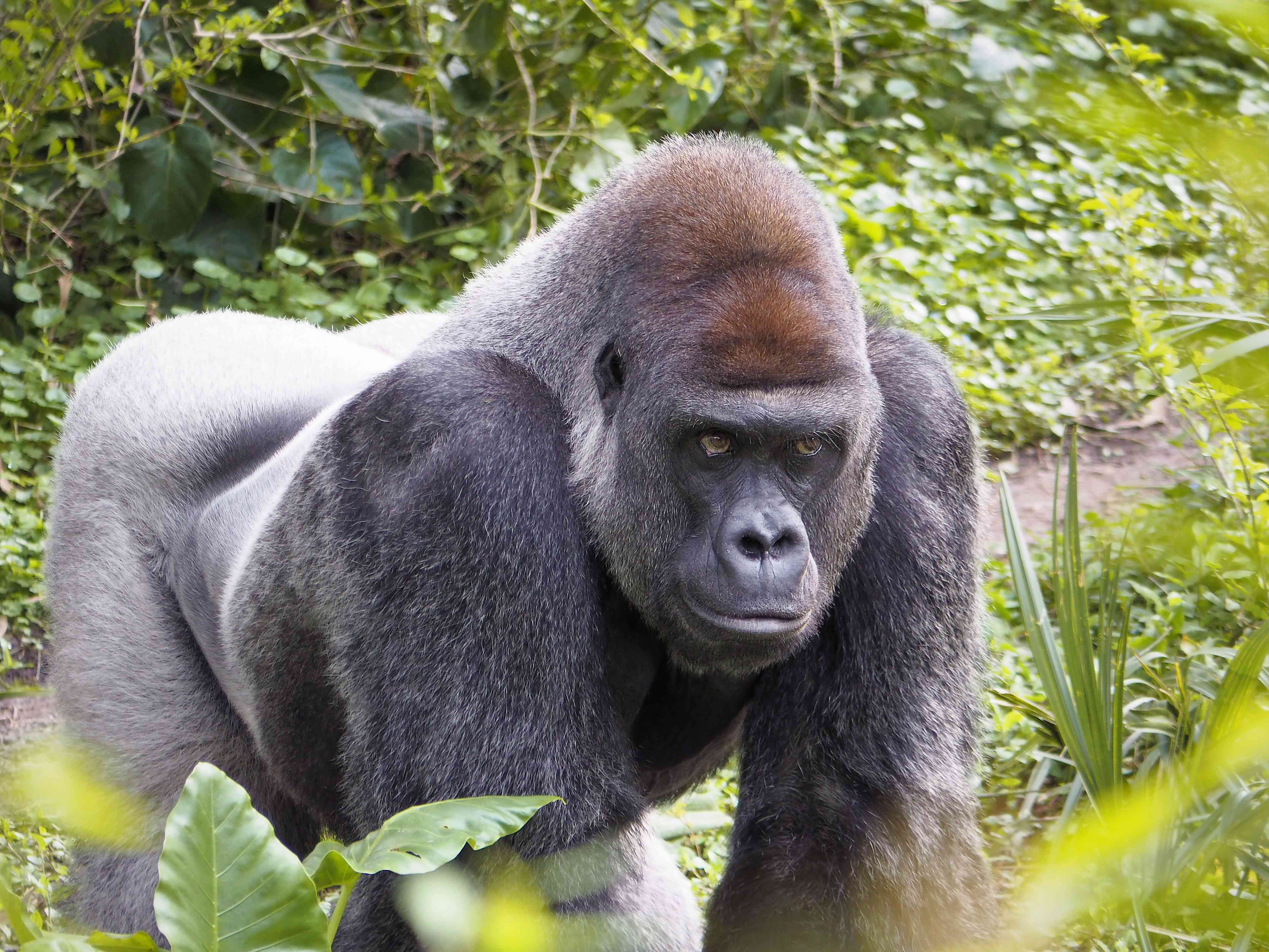 A gorilla walking around outside in a green setting.