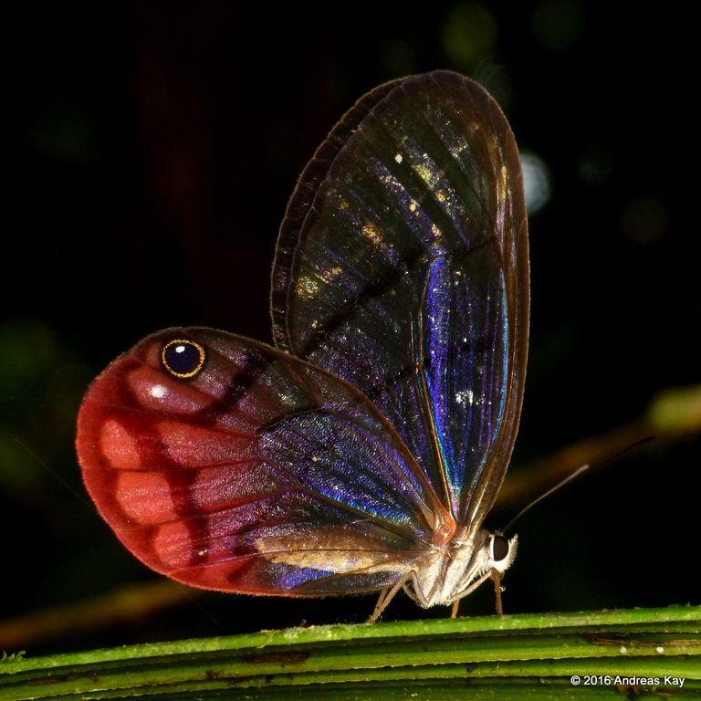 Foto: El ojo engañoso de una mariposa fantasma ruborizada