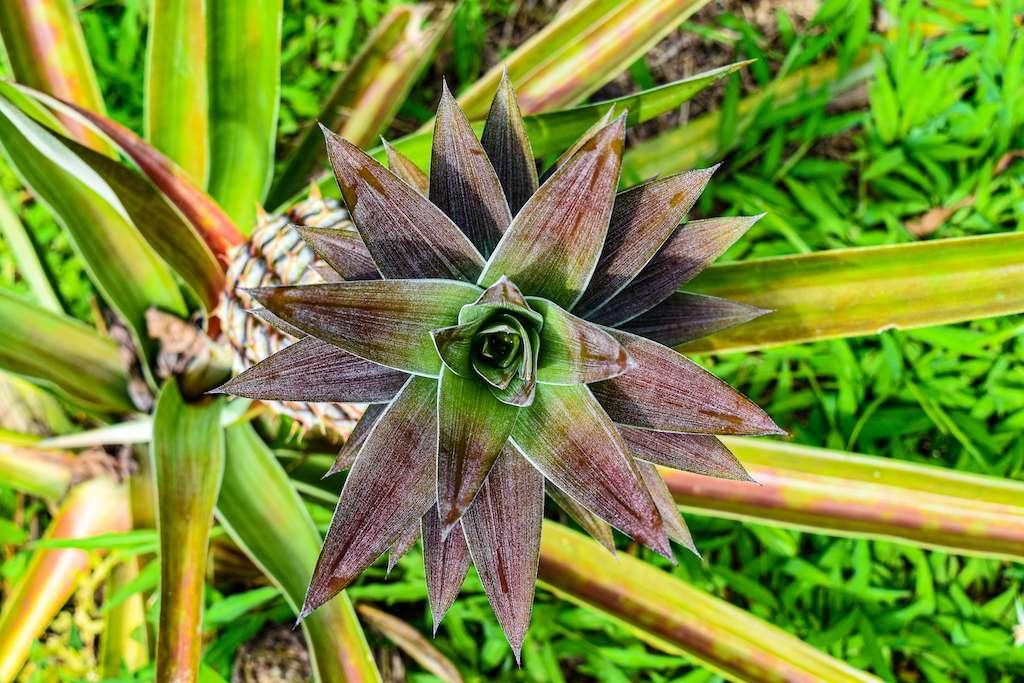 overhead shot of pineapple growing