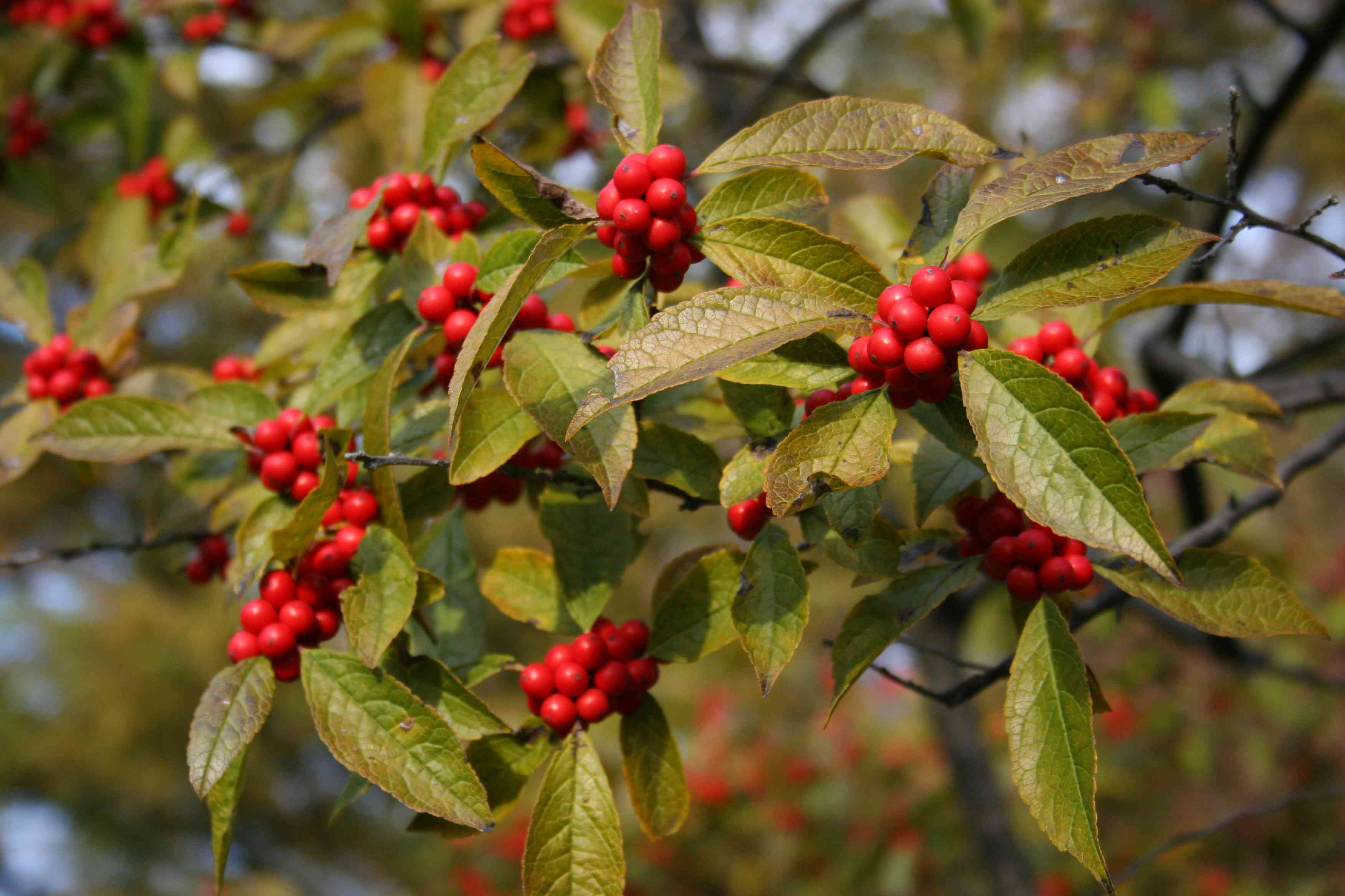 winterberry holly with green leaves and red berries