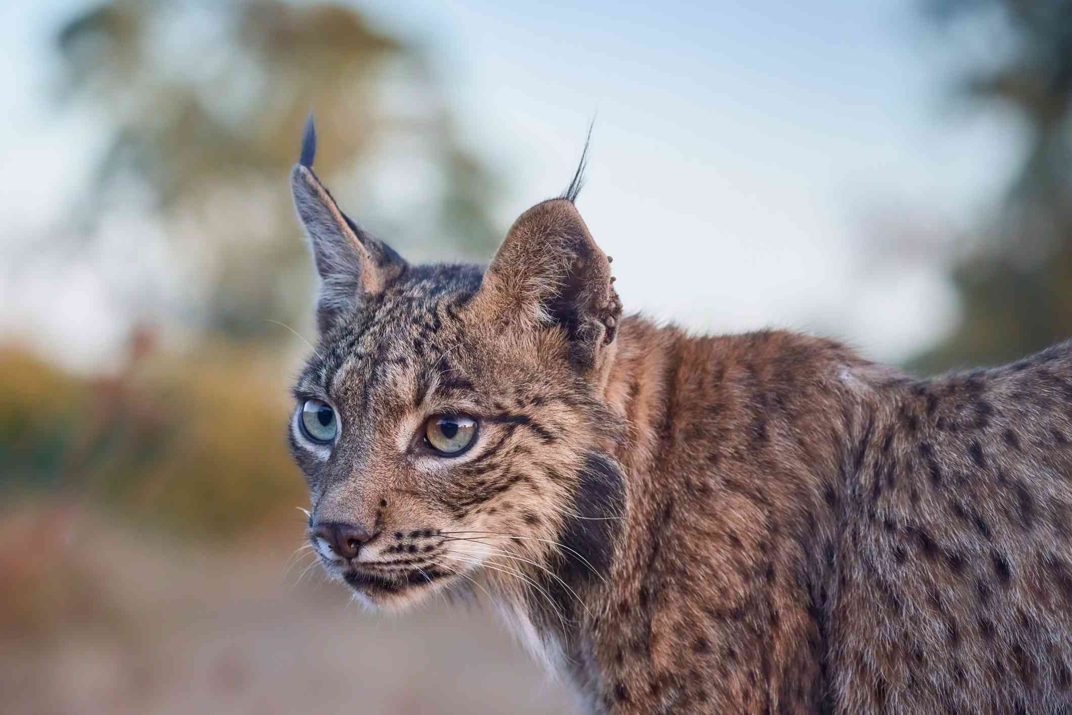 Iberian lynx looking into the distance