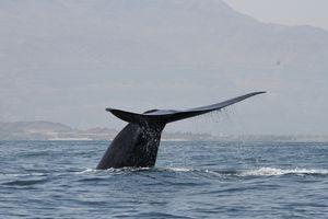 A Northwest Indian Ocean blue whale off the Arabian Sea coast of Oman.
