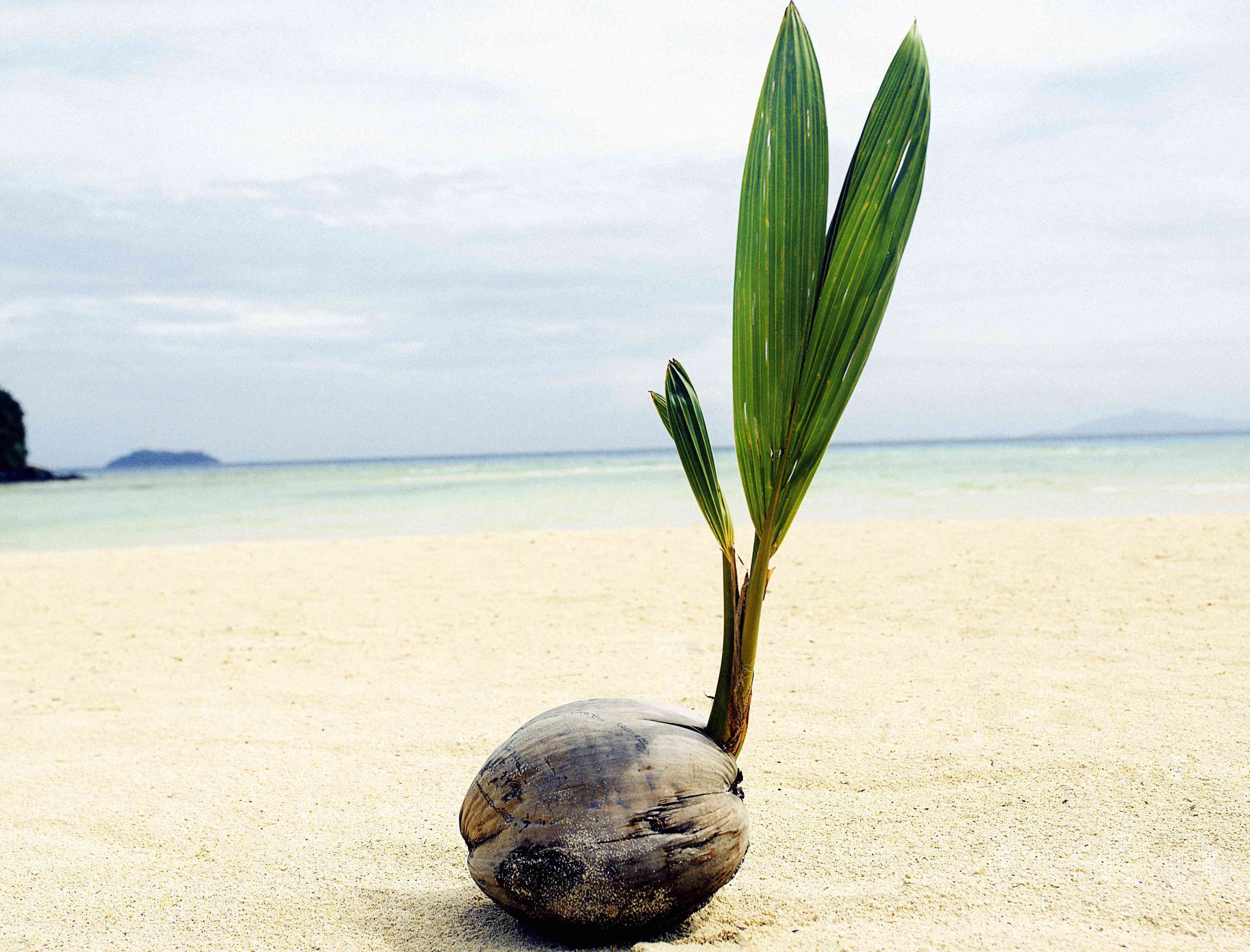 sprouting coconut on beach