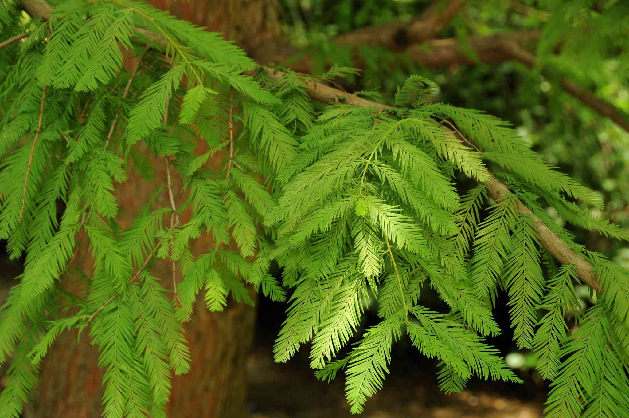 A closeup of the leaves of a Baldcypress tree.