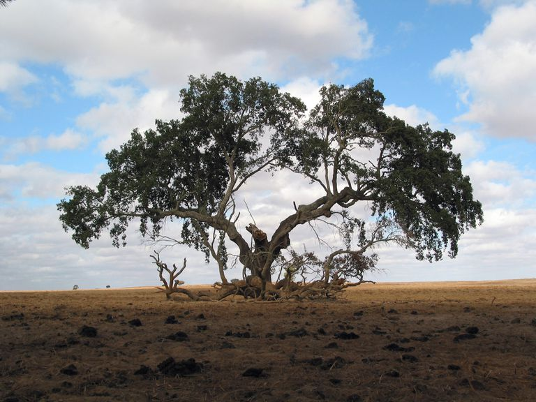 An extremely old tree in the middle of the dry land