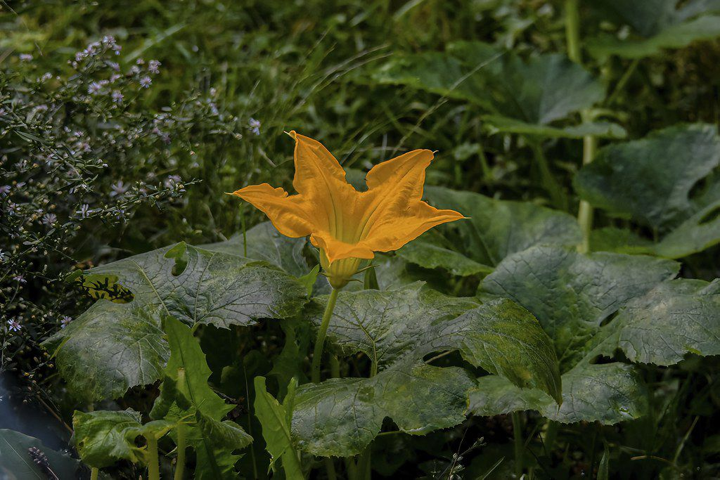 A squash blossom in full bloom.