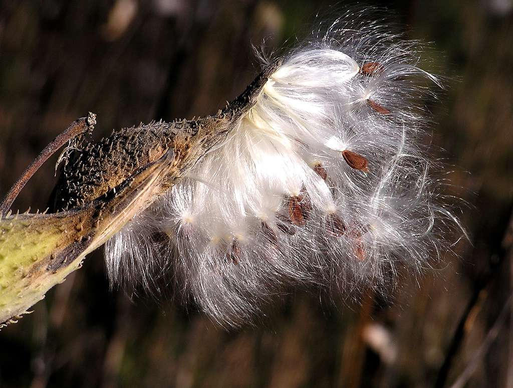 Floss from the common milkweed plant has been tested in cold weather by the Canadian Coast Guard.