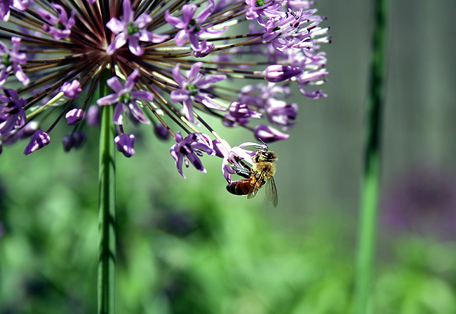 bee on allium flower