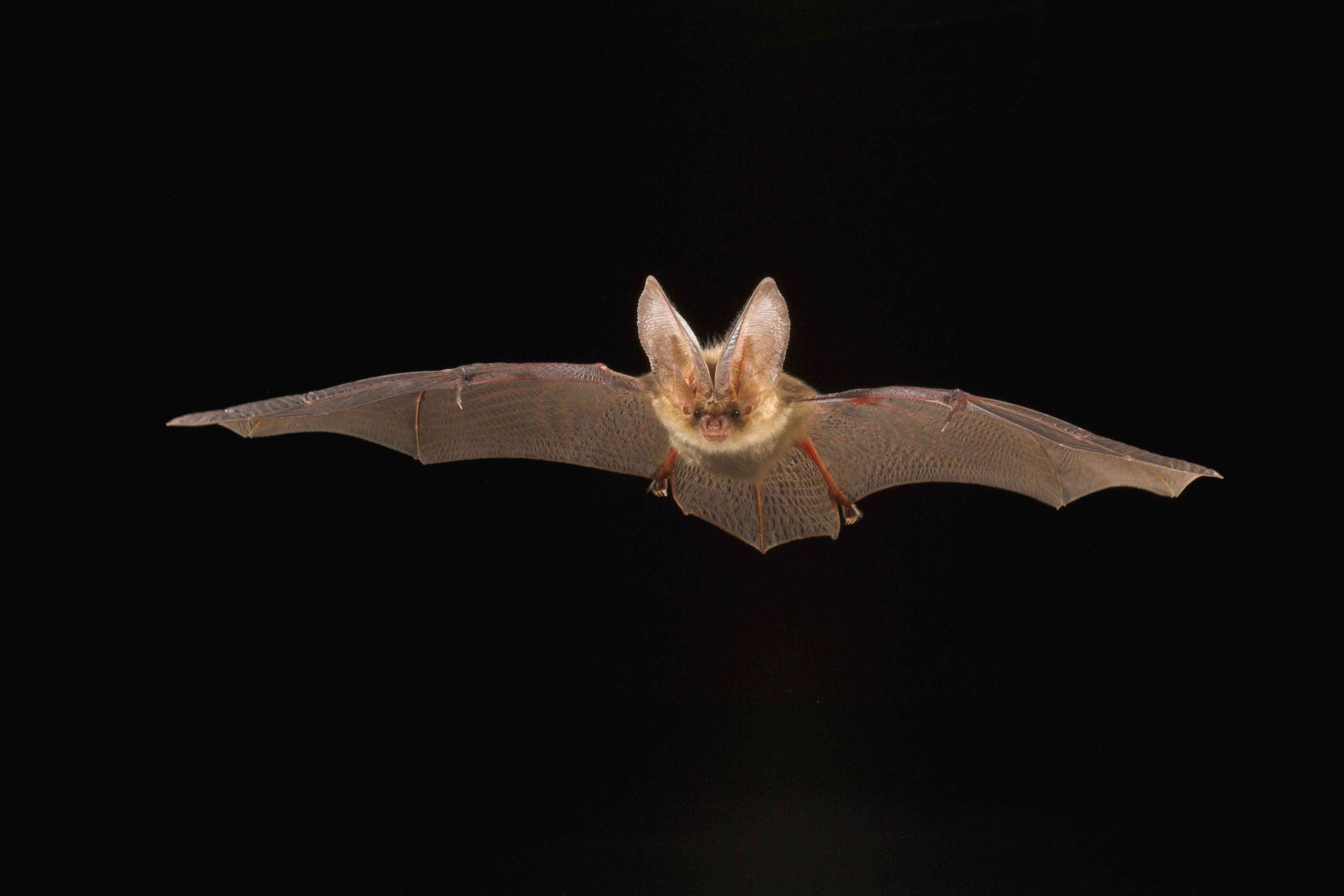 A brown bat with long ears flies in front of a black background