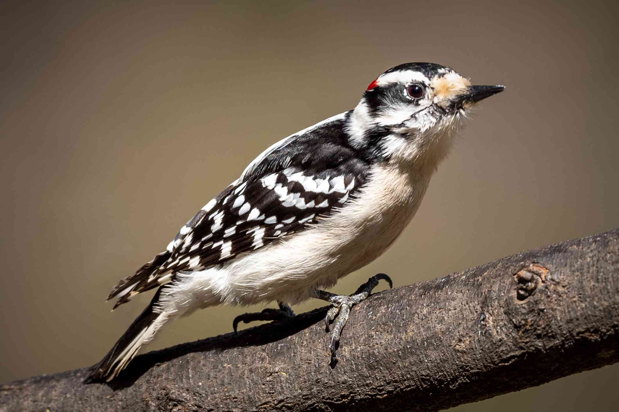 A downy woodpecker perched on a branch.