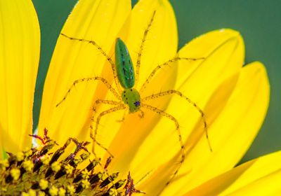 green lynx spider (Peucetia viridans) on a yellow flower
