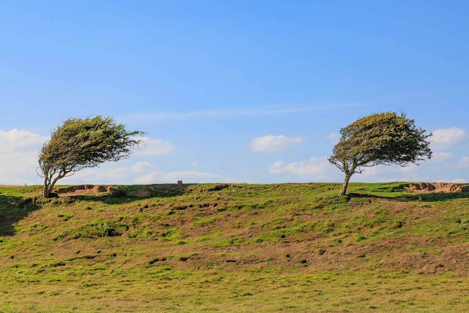 Two windswept trees stand at the top of a grassy hill on a clear day in Cuckmere Haven