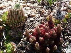 Denver Botanic Garden succulents