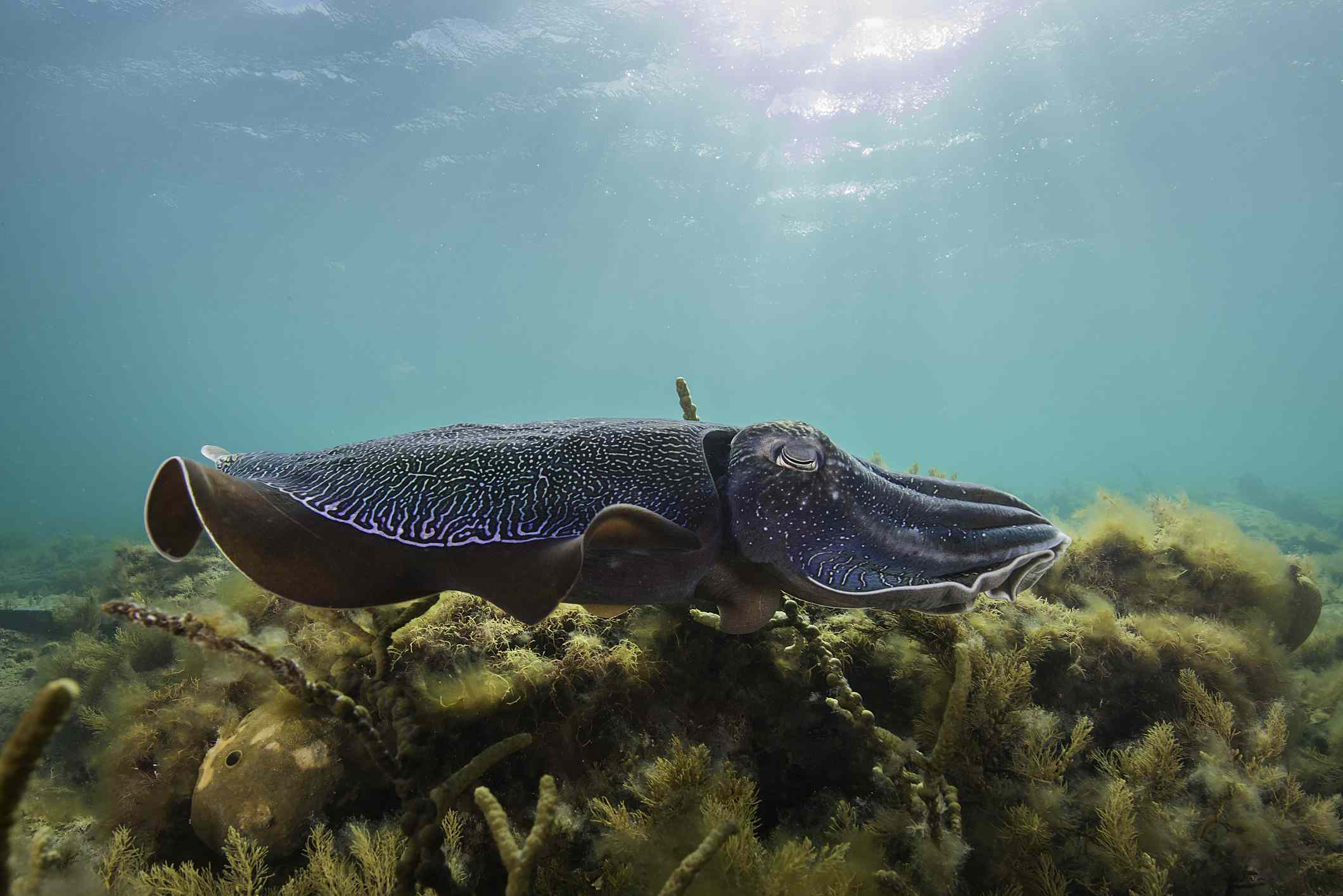 Australian giant cuttlefish swimming over a bed of kelp