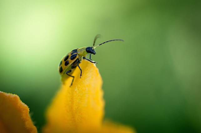 Cucumber beetle on a growing cucumber plant