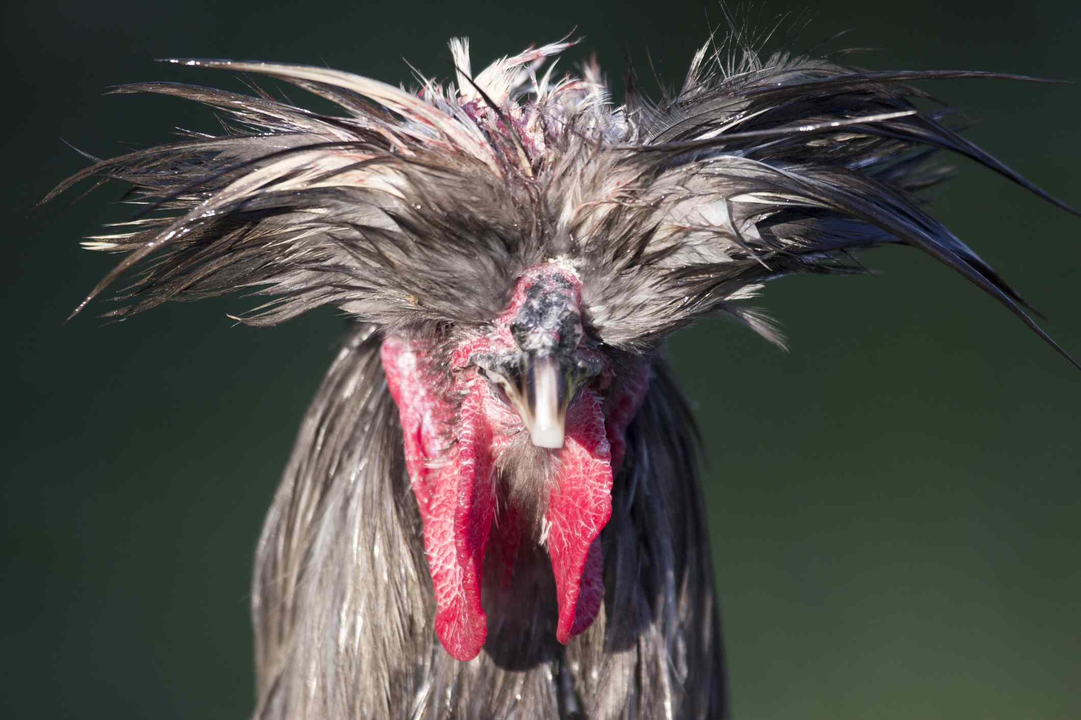 Polish crested rooster