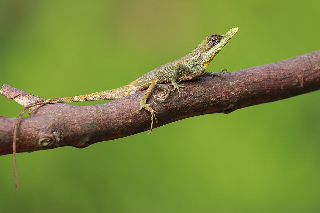 A leaf nosed lizard sits perched on a branch.