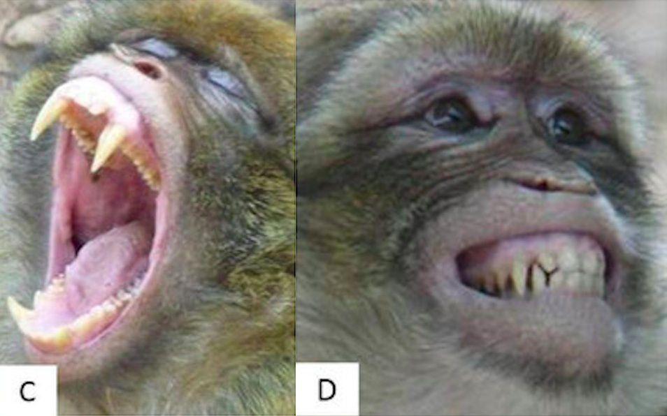 Monkey faces baring teeth
