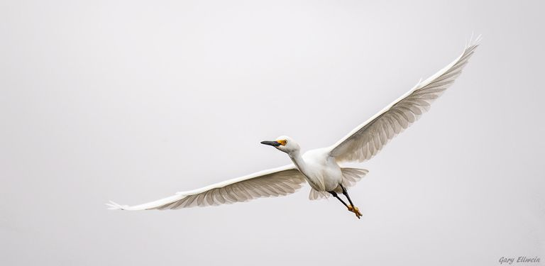 Snowy egret soaring against a gray sky