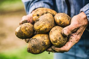 Hands holding dirty potatoes freshly picked from the ground.