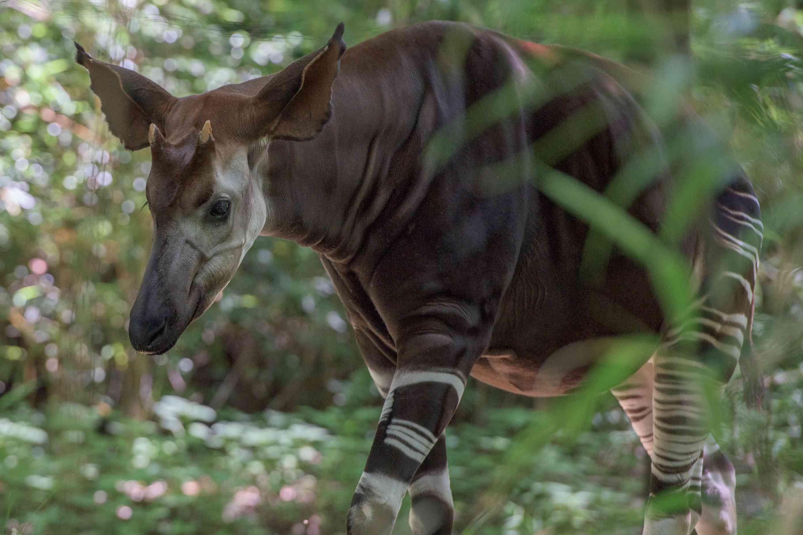 Okapi walking in the forest