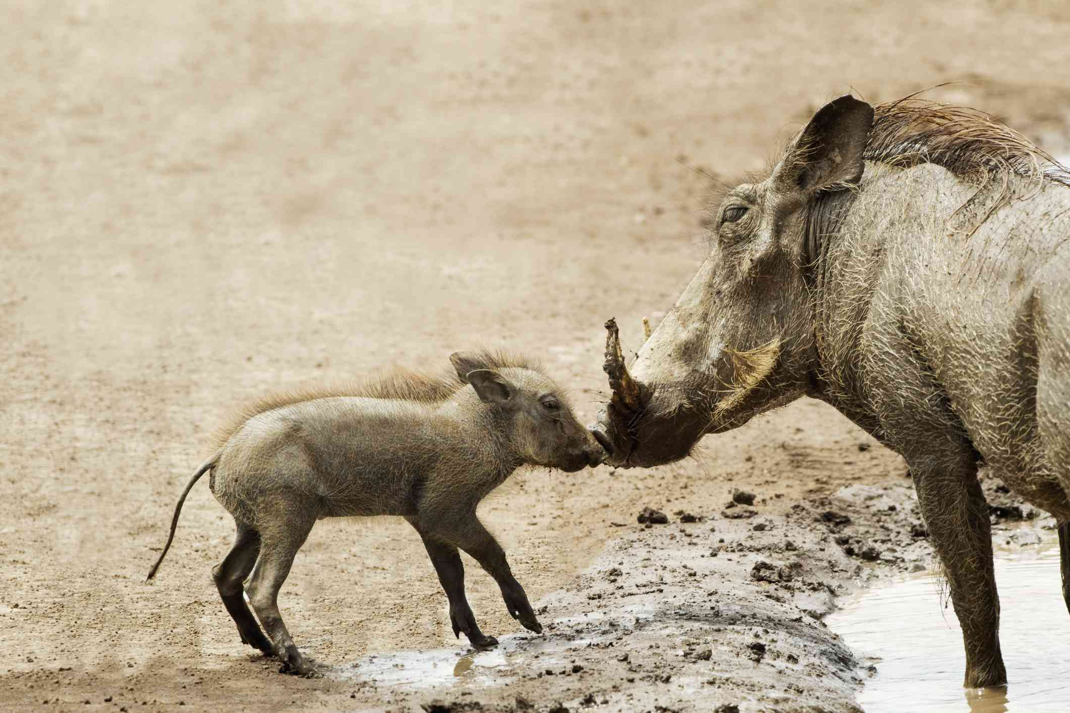 Baby warthog with its mother
