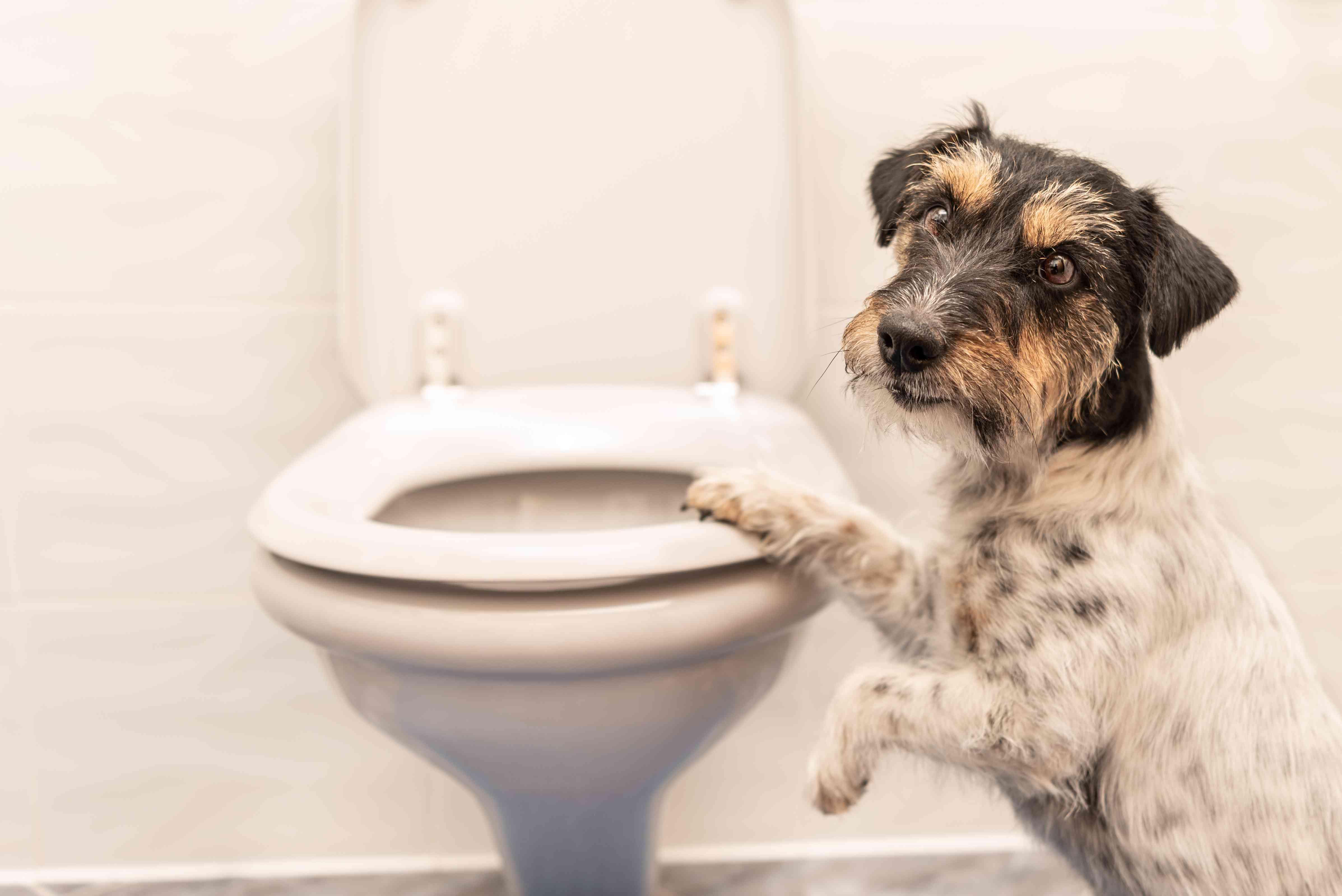 Jack Russell terrier with a paw on the toilet