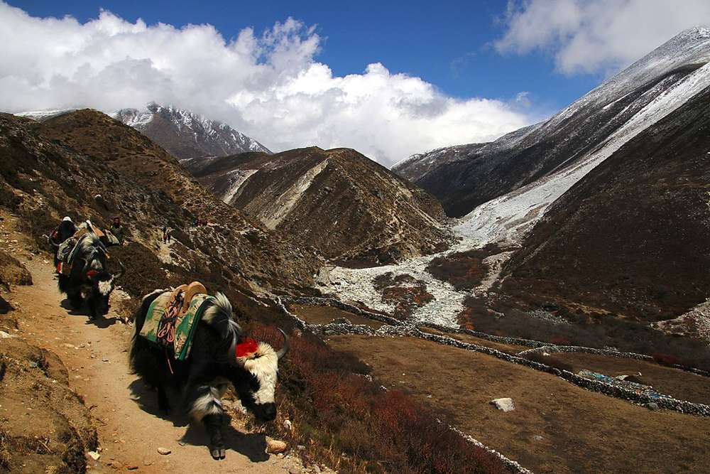 domesticated yaks in the Himalayas