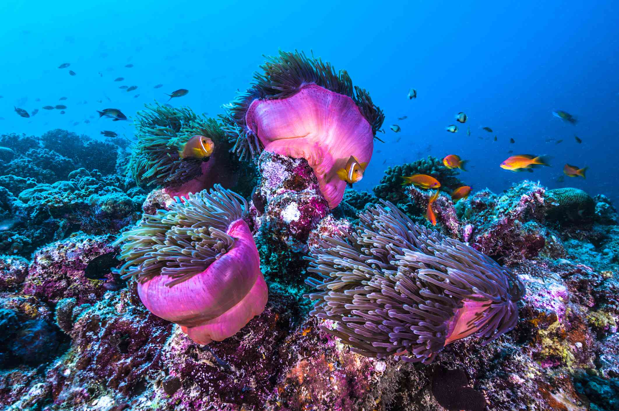 orange and black clown anemone fish in bright blue water swimming along the vibrant pink anemone and colorful coral reef