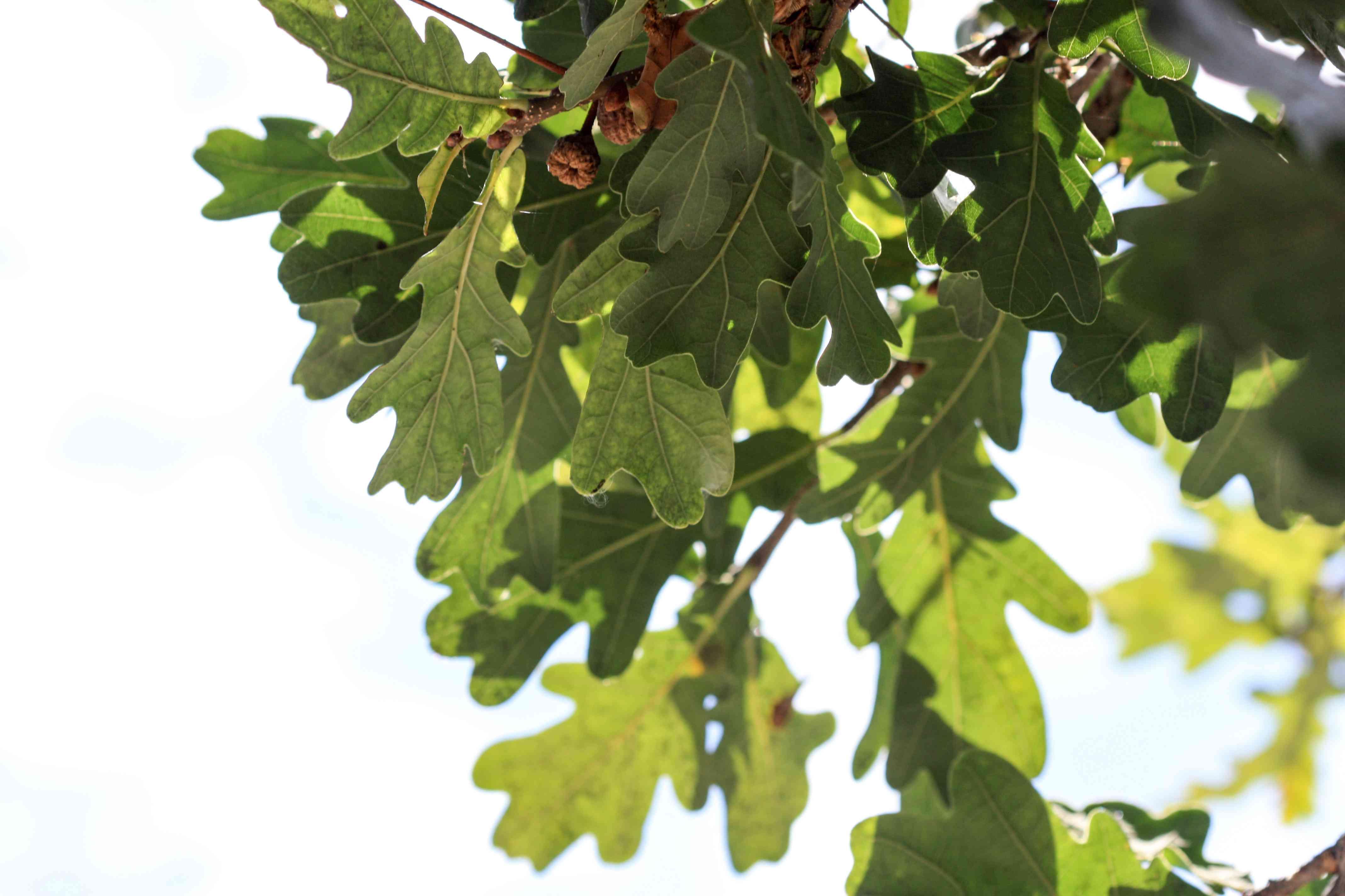White Oak leaves hanging against a blue sky.
