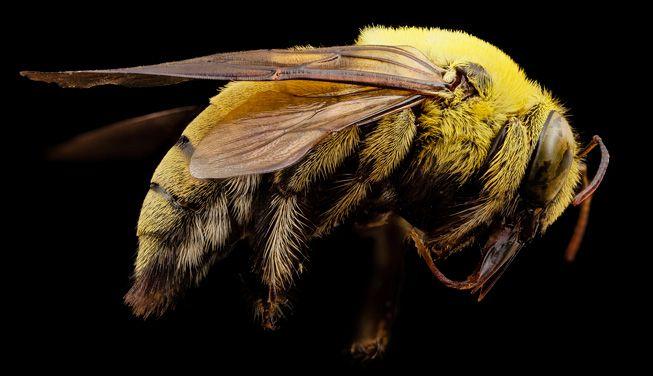 Xylocopa India yellow carpenter bee