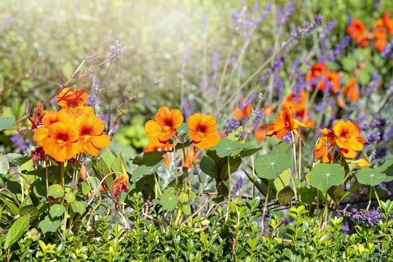 Vibrant orange Nasturtium flowers (Tropaeolum majus) in a vegetable plot