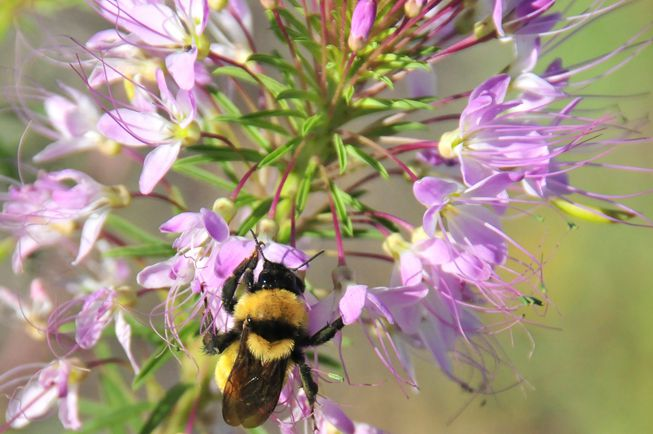 Nevada bumble bee on a purple flower in Seedskadee National Wildlife Refuge
