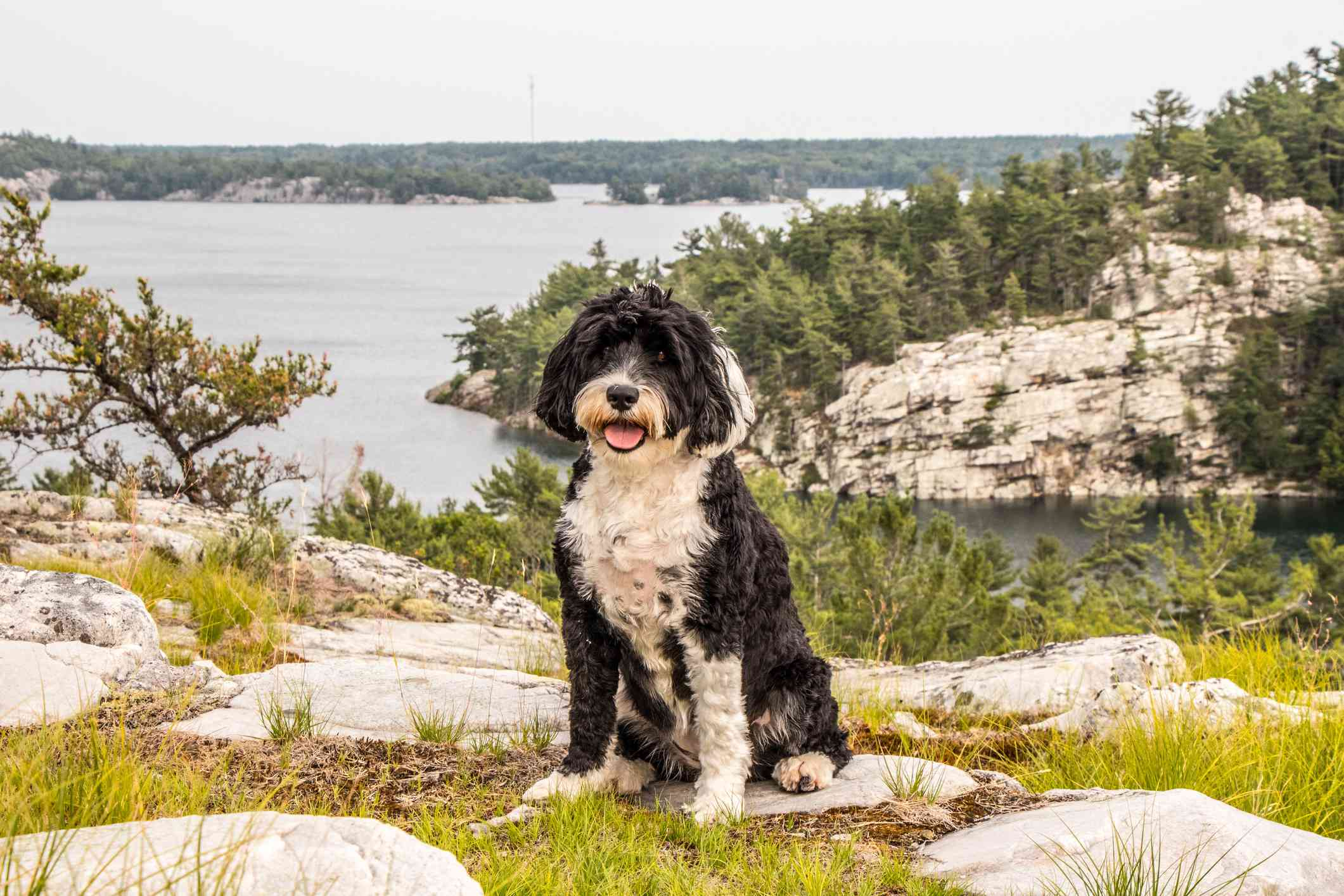 black and white Portuguese water dog sitting on a hill adjacent to water