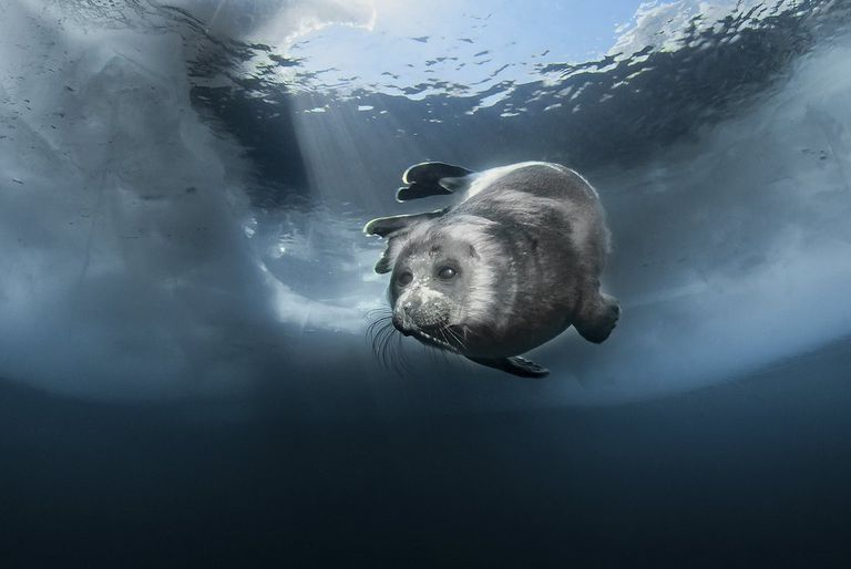 Underwater photo of a seal swimming