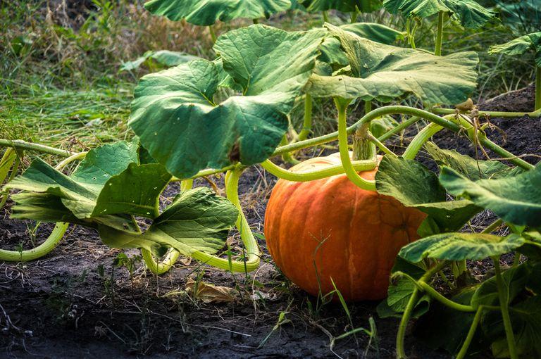 orange pumpkin on vine sits in backygard garden