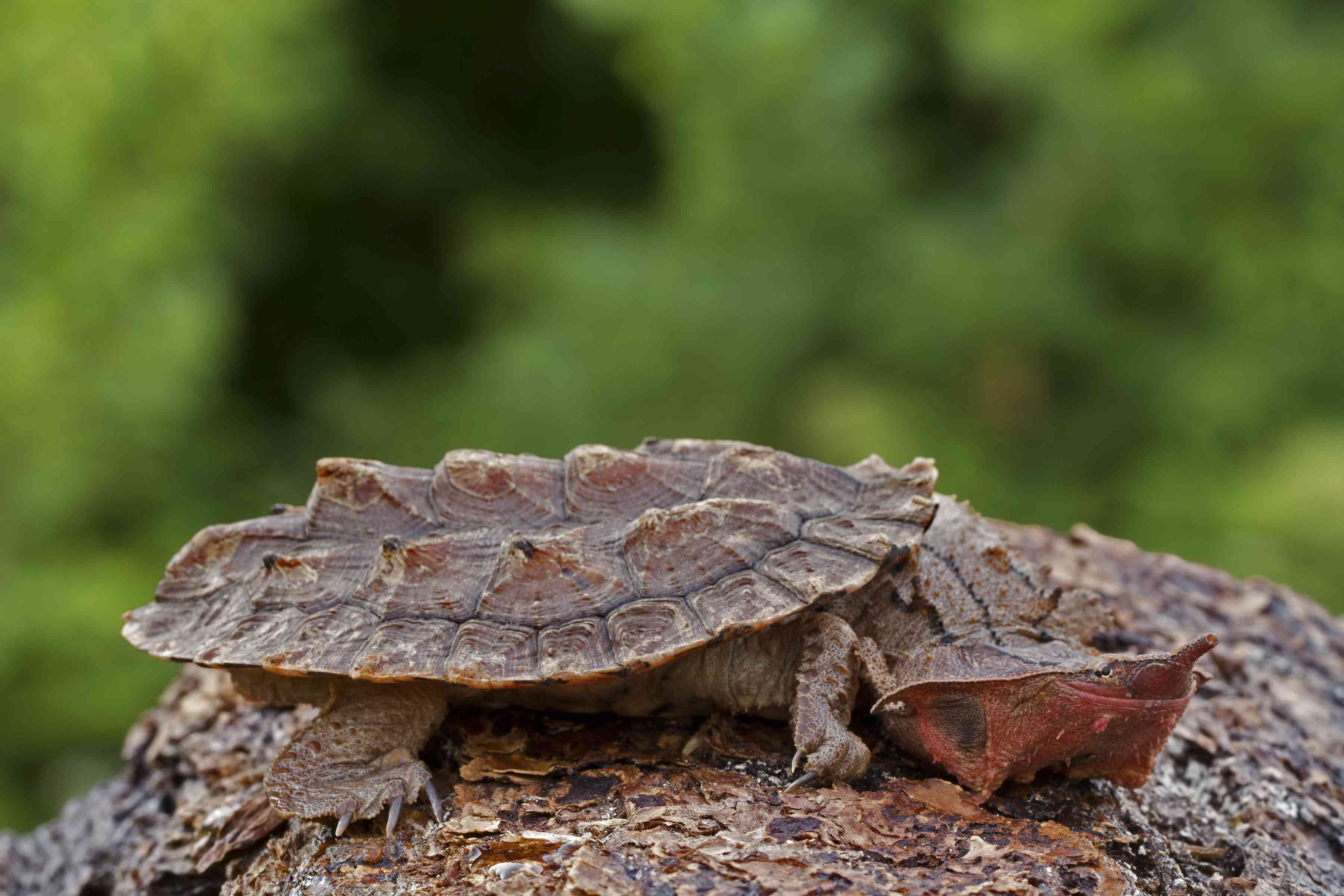 A brown mata mata turtle on a log with green plants in the background