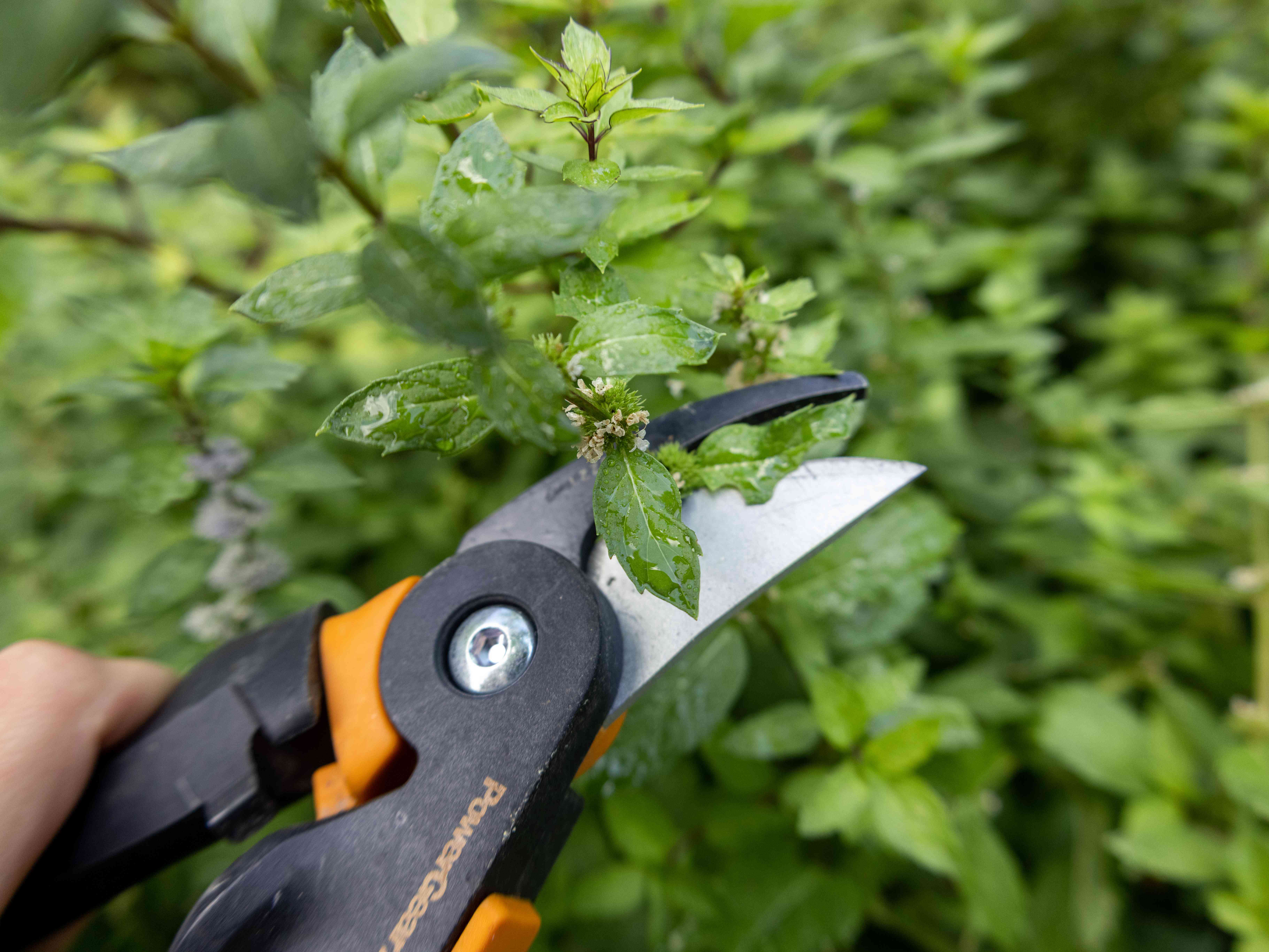 garden shears are used to cut mint stem to transplant