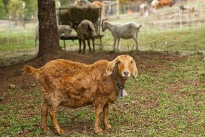 scruffy tan goat looks at you while others eat hay in the background of farm