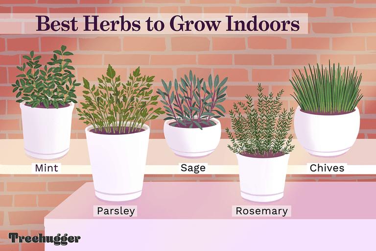 best herbs to grow indoors illustration of herbs in pots