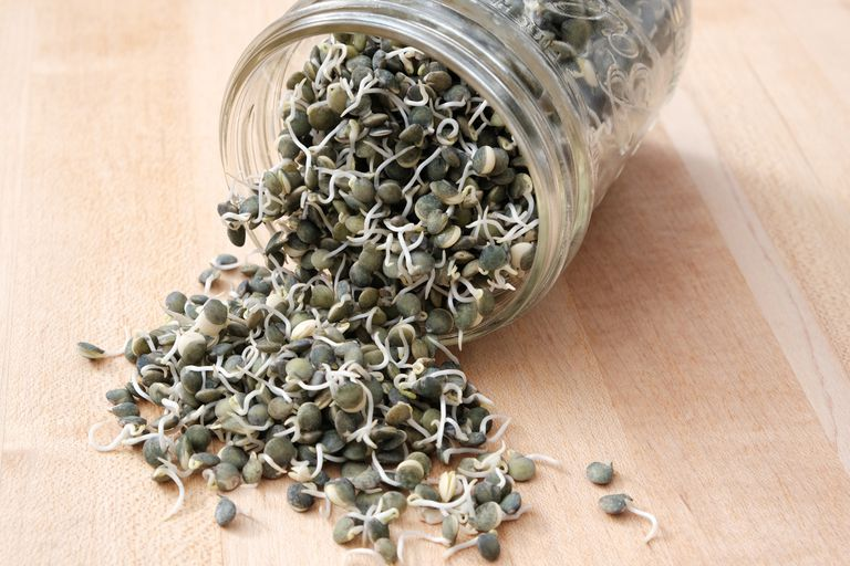 green sprouted lentils tumbling out of turned-over glass jar