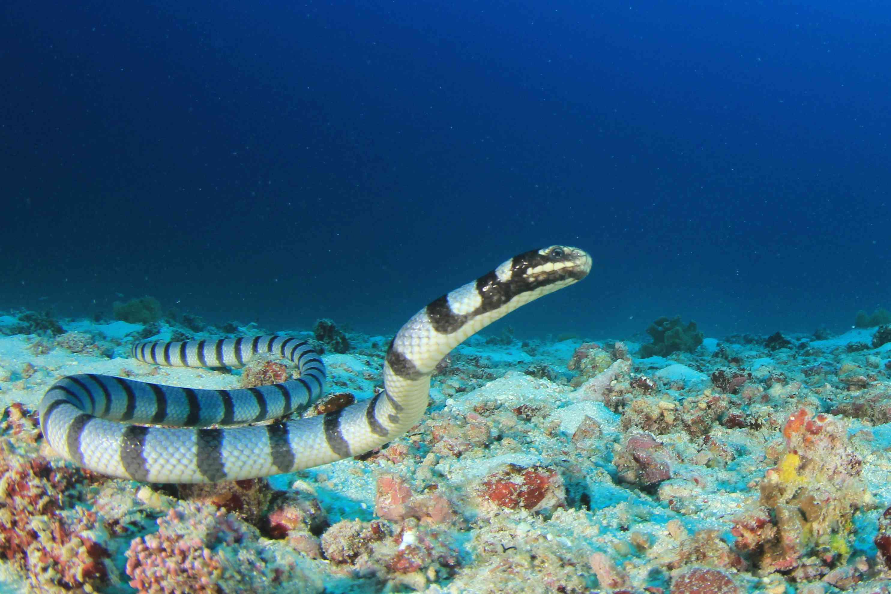 Banded sea krait swimming in underwater reef