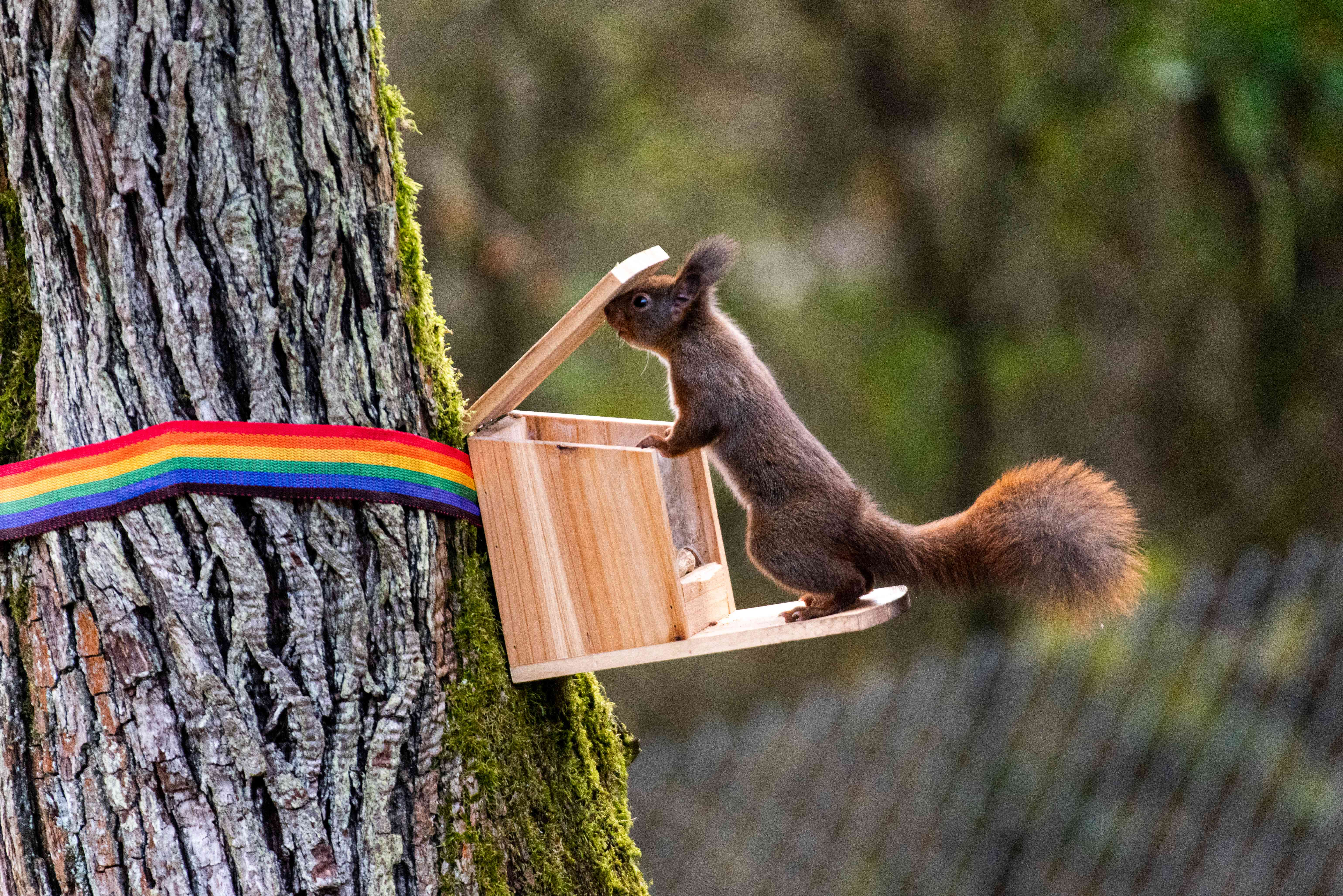 Squirrel lifting lid on a squirrel feeder with its head