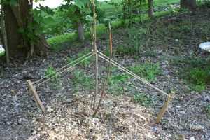Tree with 2 stakes
