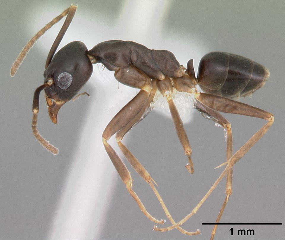 A close-up of a Gracilidris ant specimen.