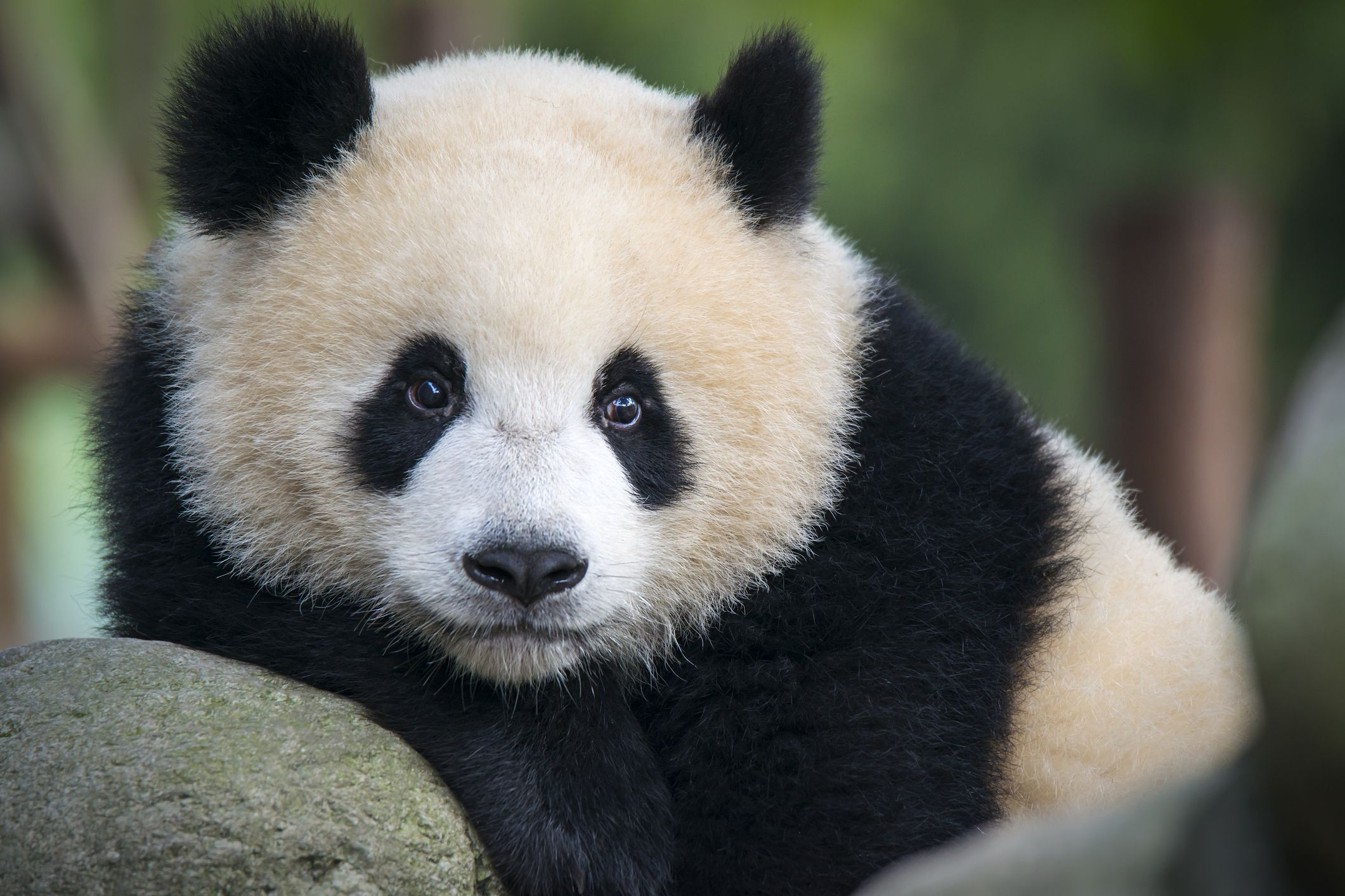 Are Giant Pandas Endangered? China To Build Huge Preserve