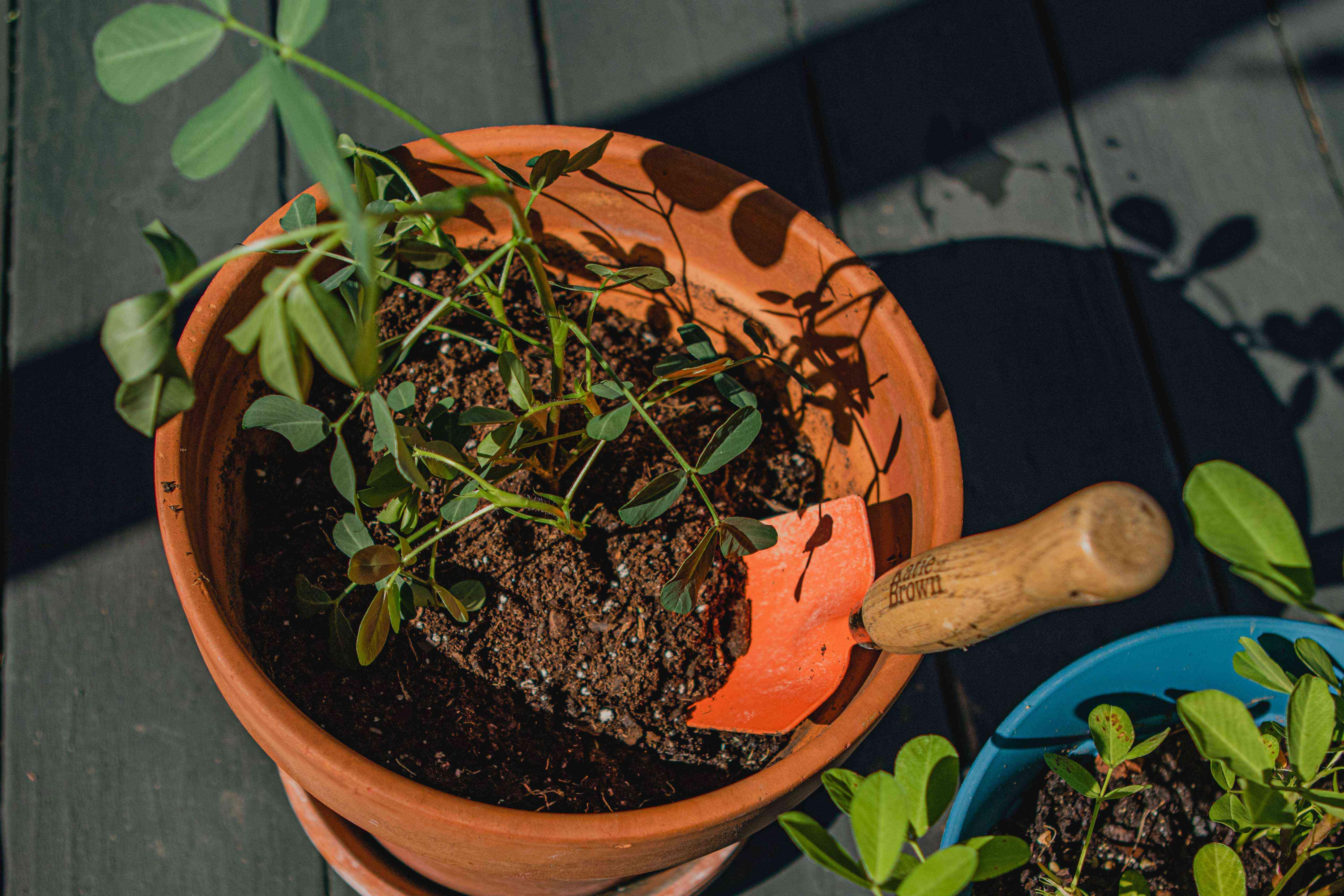 peanut starter plant in terracotta pot with garden trowel