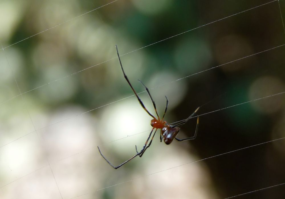 Red and Silver Dewdrop Spider on web belonging to another spider